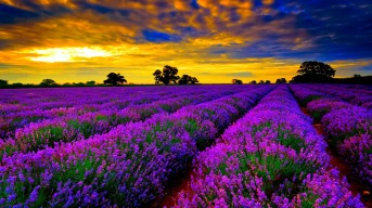 Image result for lavender flower